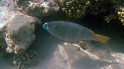 fisch-rotes-meer-hurghada